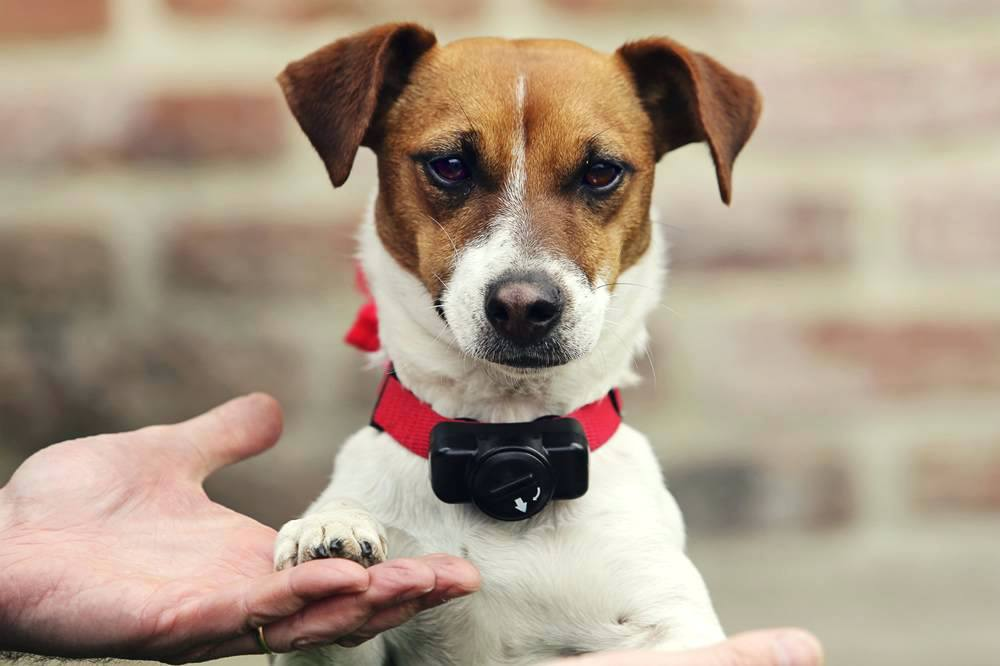 Jack Russell Collier Electrique