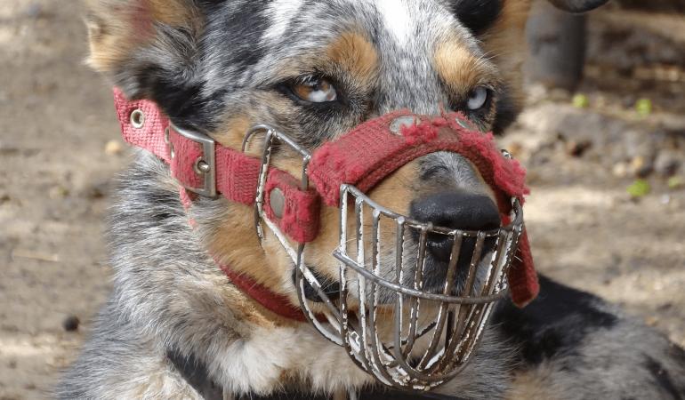 Habituer mon chien au port de la muselière