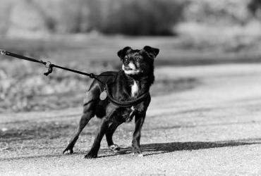 Comment faire pour empêcher mon chien de tirer en laisse ?
