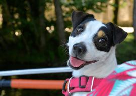 Comment mettre un harnais à mon chien ?