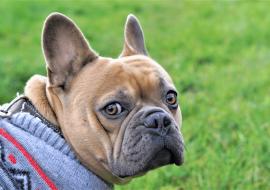Apprendre l'ordre «regarde moi» à mon chien