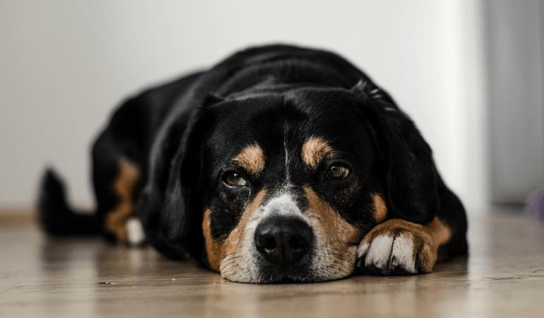 Pourquoi mon chien pleure ?