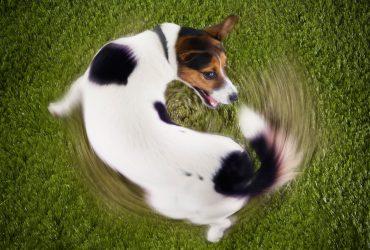 Mon chien se mord la queue : que faire ?