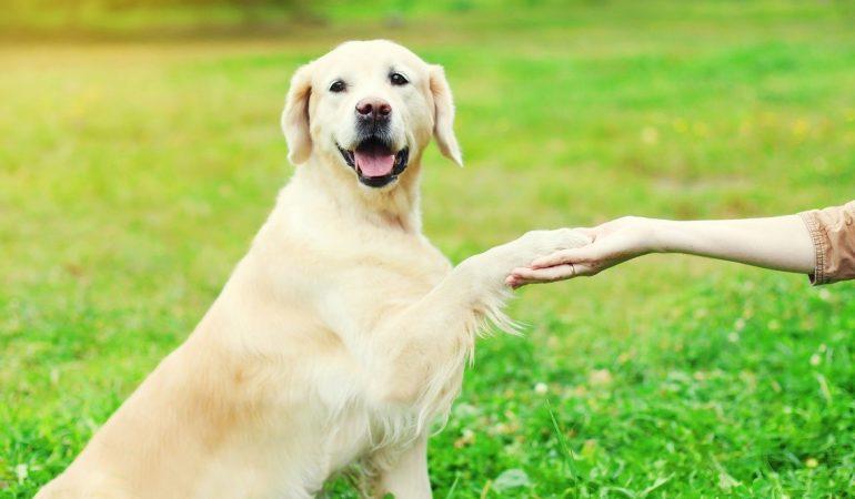 Apprendre à mon chien à donner la patte