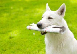 Apprendre à mon chien à rapporter le courrier